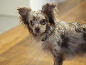 Reportage aus der Demenz-WG: Tierischer Besuch Ein Angehöriger hat seinen Chihuahua mitgebracht
